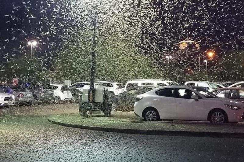 Millones de saltamontes de alas pálidas toman Las Vegas