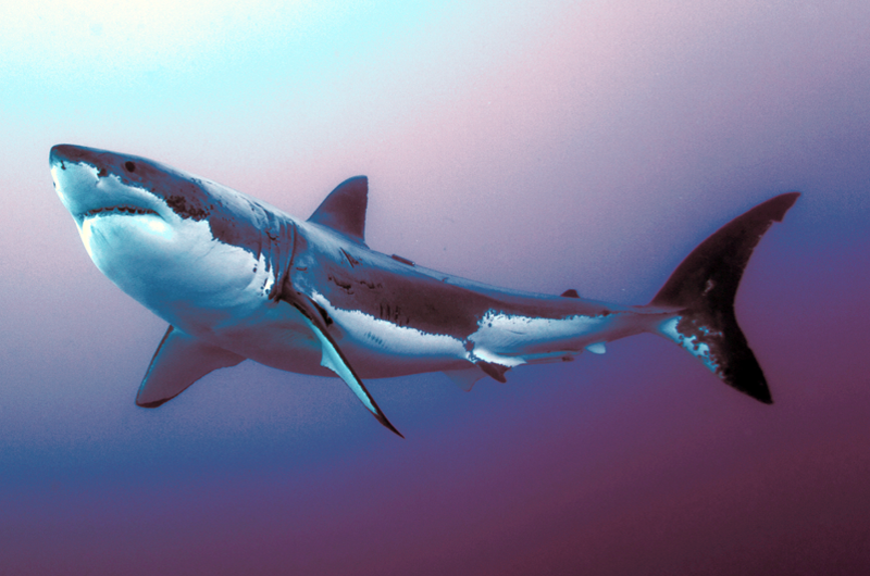 """""""El gran tiburón blanco"""", documental que sensibiliza sobre esta especie"""