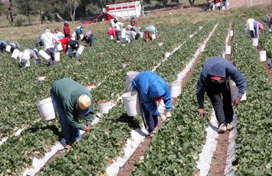 Más de 281 mil mexicanos han  trabajado en campos canadienses