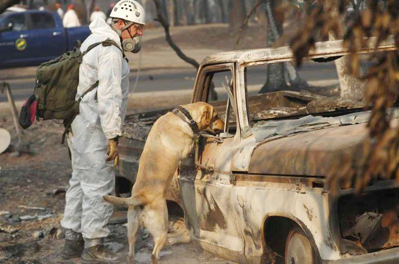 Viajaron perros de LV a California para buscar víctimas de incendios