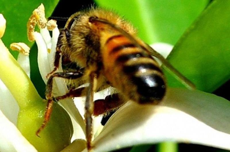 Desarrollan tecnologías para mejorar crianza de abejas sin aguijón