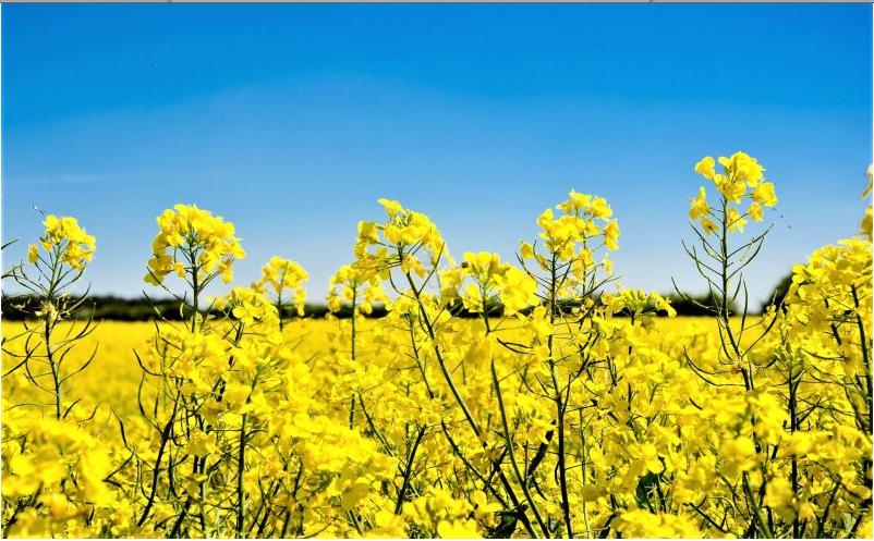 Investigadores chinos mejoran cultivo de colza con tecnología genética